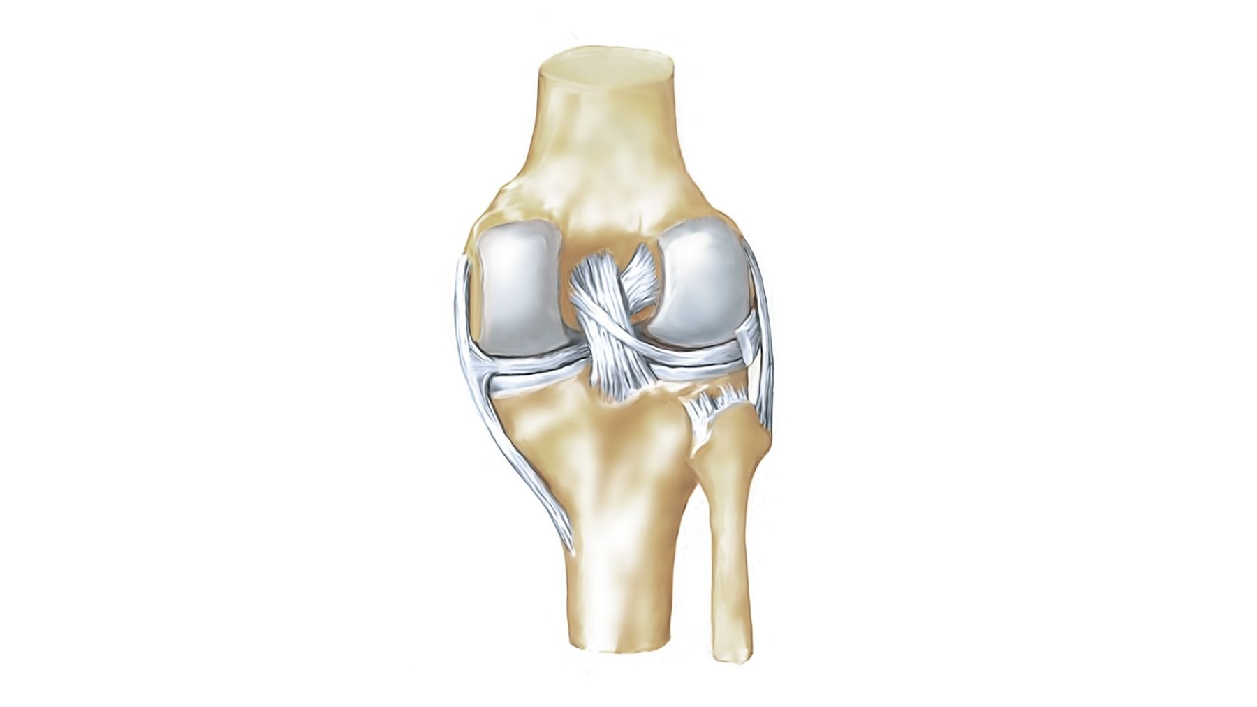 Anatomy of the knee joint - Anatomy of the knee joint