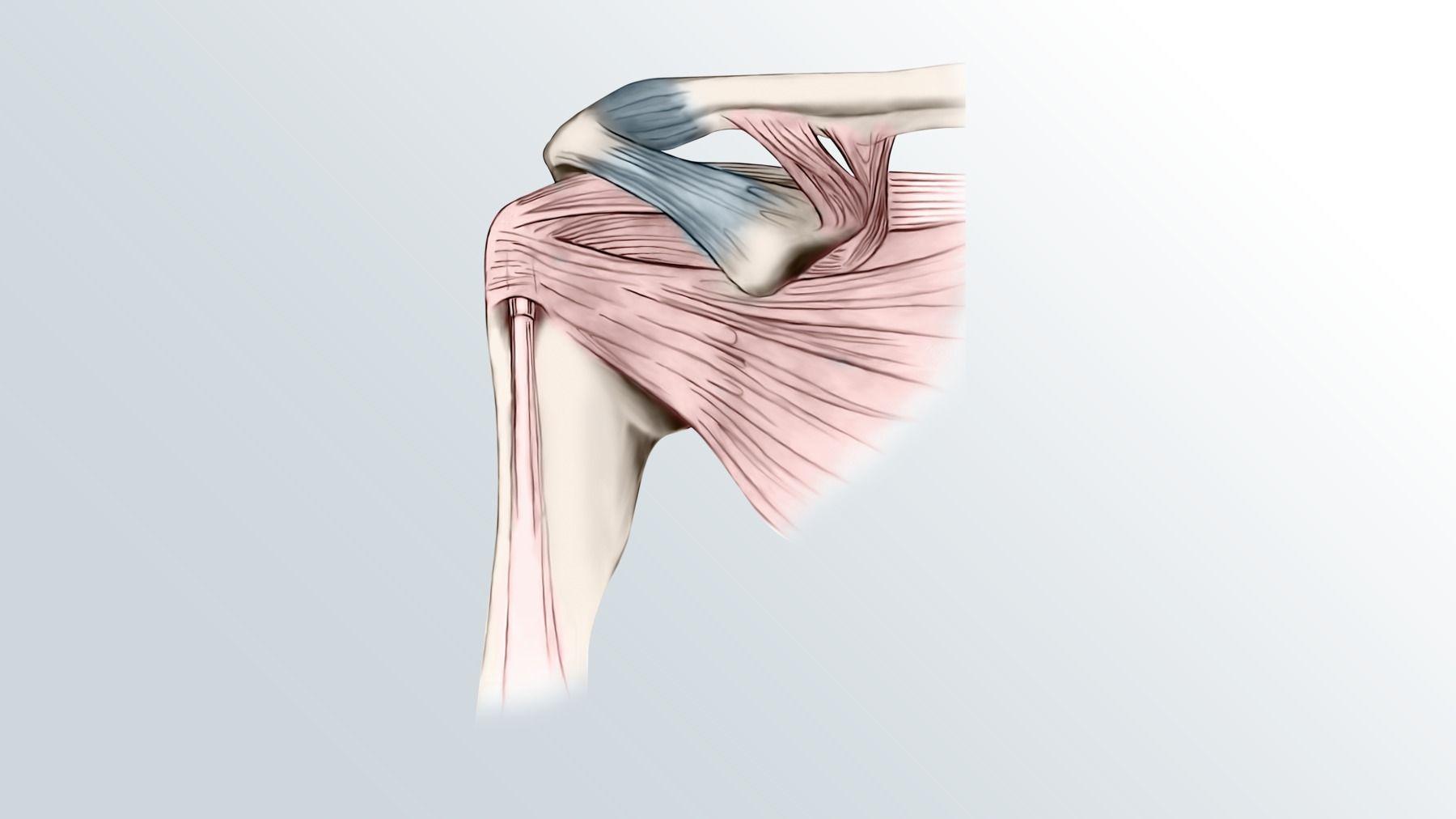 Shoulder joint anatomy -